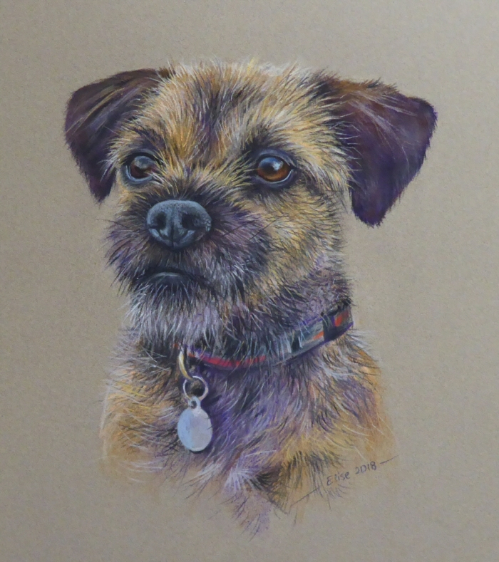 Border terrier for website